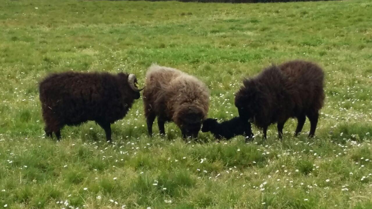 moutons agneau 2017