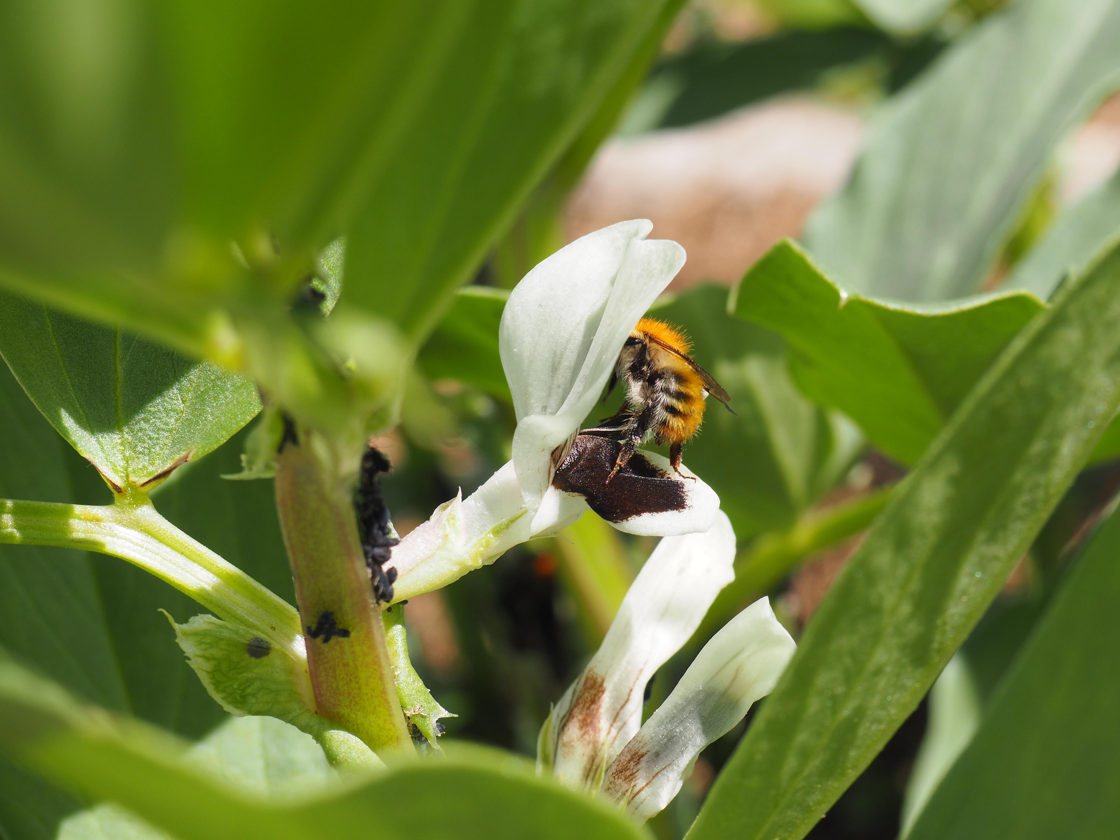 Insecte au potager